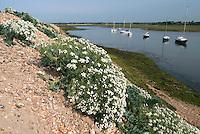 Sea Kale (Crambe maritima) in flower on Hurst Spit, Hampshire