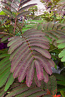 Closeup of leaves Albizia julibrissen 'Summer Chocolate'