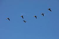 Graugans im Flug, fliegend, Formationsflug, Formation, Grau-Gans, Gans, Graugänse, Gänse, Anser anser, Greylag Goose, graylag goose, grey lag goose, Oie cendrée