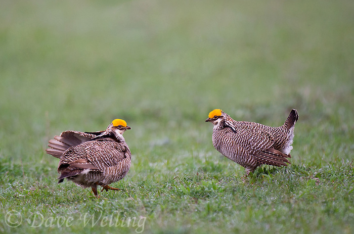 572110209 wild lesser prairie chickens tympanuchus pallidicintus display on a small lek on a ranch in the eastern panhandle near canadian texas