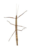 Laboratory Stick Insect - Carausius  morosus