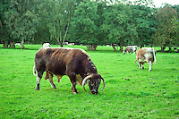 Longhorn bull and cows, Cheshire...Copyright..John Eveson, Dinkling Green Farm, Whitewell, Clitheroe, Lancashire. BB7 3BN.01995 61280. 07973 482705.j.r.eveson@btinternet.com.www.johneveson.com