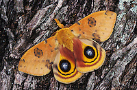 Io Moth, Automeris io, male on Mesquite Tree Bark in defensive pose, Willacy County, Rio Grande Valley, Texas, USA
