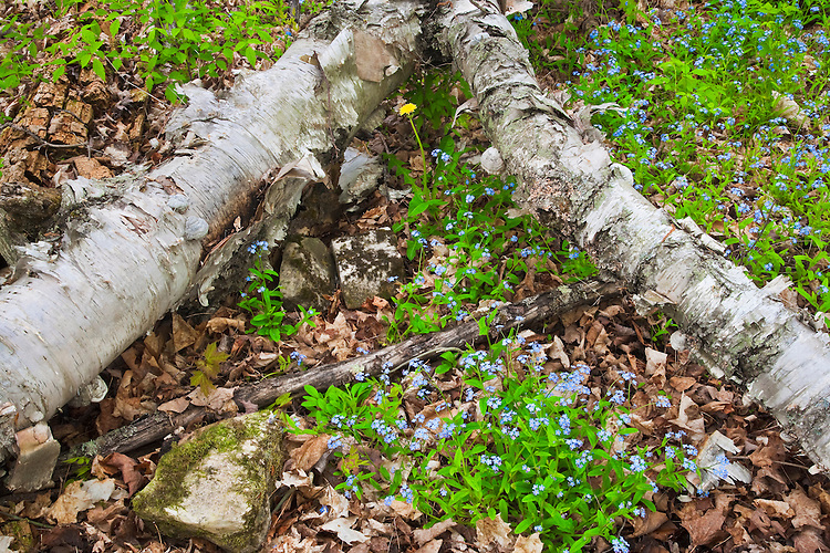 Forget-Me-Nots (Myosotis scorpioides) and birch logs in Peninsula State Park; Door County, WI