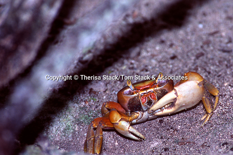 Fiddler Crab, Everglades National Park