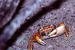 Fiddler Crab, Everglades National Park
