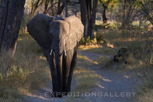 African elephanton dirt road in a game reserve in the Okavango Delta, Botswana. (This species is found in many African countries including South Africa, Botswana, Zambia, Zimbabwe, Namibia, Tanzania, Kenya, Rwanda, Uganda, Angola, Democratic Republic of Congo)