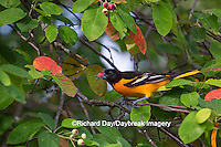 01611-09718 Baltimore Oriole (Icterus galbula) male eating serviceberry (Amelanchier canadensis)  Marion Co., IL