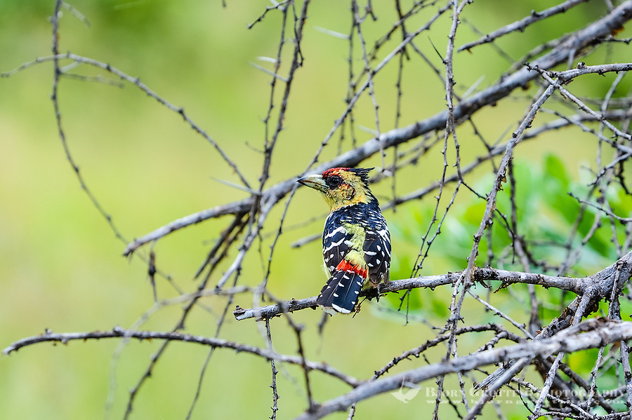 A Crested Barbet in a tree. Kruger National Park, the largest game reserve in South Africa.
