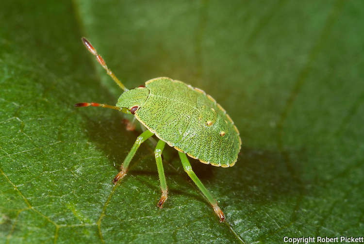 Tortoise or Shield Bug, Eurygaster maura, green nymph, small, macro, cute