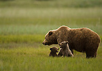 A brown bear mother and her two cubs, born the previous winter,  play and graze on grass in a coastal meadow in Lake Clark NP Alaska, June 24th 2008.  Photo by Gus Curtis