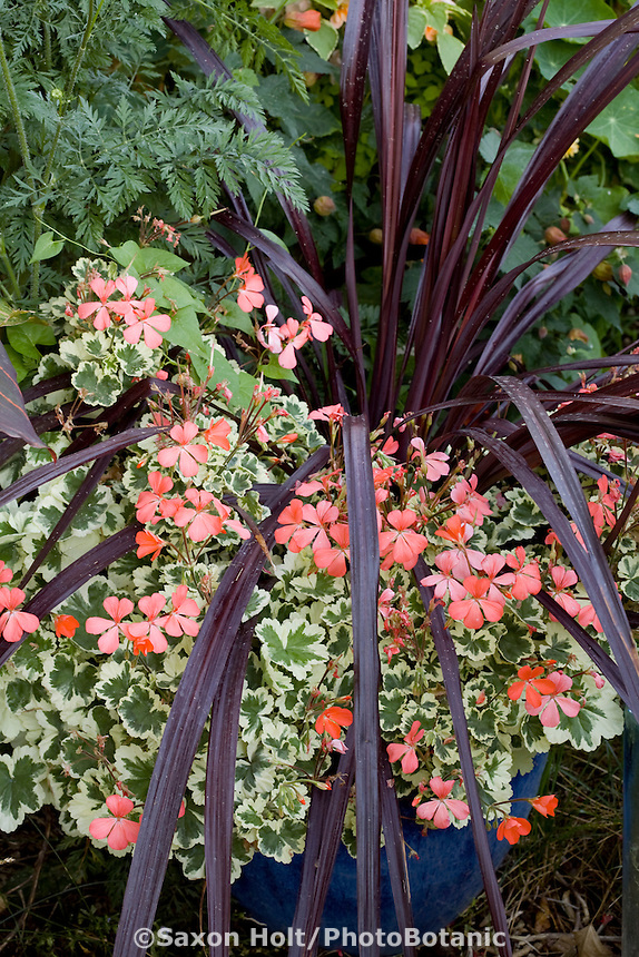 Container of Festival Grass Cordyline, purple foliage with orange flower variegated pelargonium