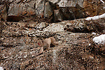 Japanese Macaque, Japanese Alps, Honshu Island, Japan