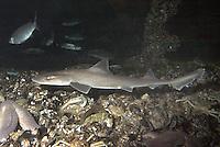 Nördlicher Glatthai, Weißgefleckter Glatthai, Gefleckter Glatthai, Hai, Mustelus asterias, stellate smooth-hound, starry smooth-hound