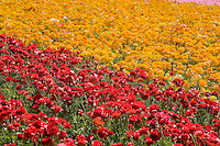 Rows of red and orange ranunculus (tuberous bulb flowers) in agriculture field at Flower Fields, cut flower  display garden San Diego California