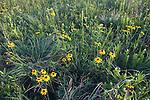 native tallgrass prairie, Steele Prairie State Preserve, Cherokee County, Iowa