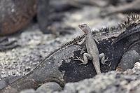 Marine Iguana and lava lizard, Punto Espanosa, Fernandina Island, Galapagos Islands, Ecuador