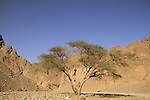 Israel, Eilat mountains, Acacia tree in Nahal Shlomo