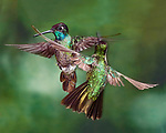 Competition - Magnificent Hummingbird