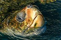 Loggerhead turtle, Caretta caretta, Center for sea turtle protection, TAMAR project, Praia do Forte, Bahia, Brazil South Atlantic