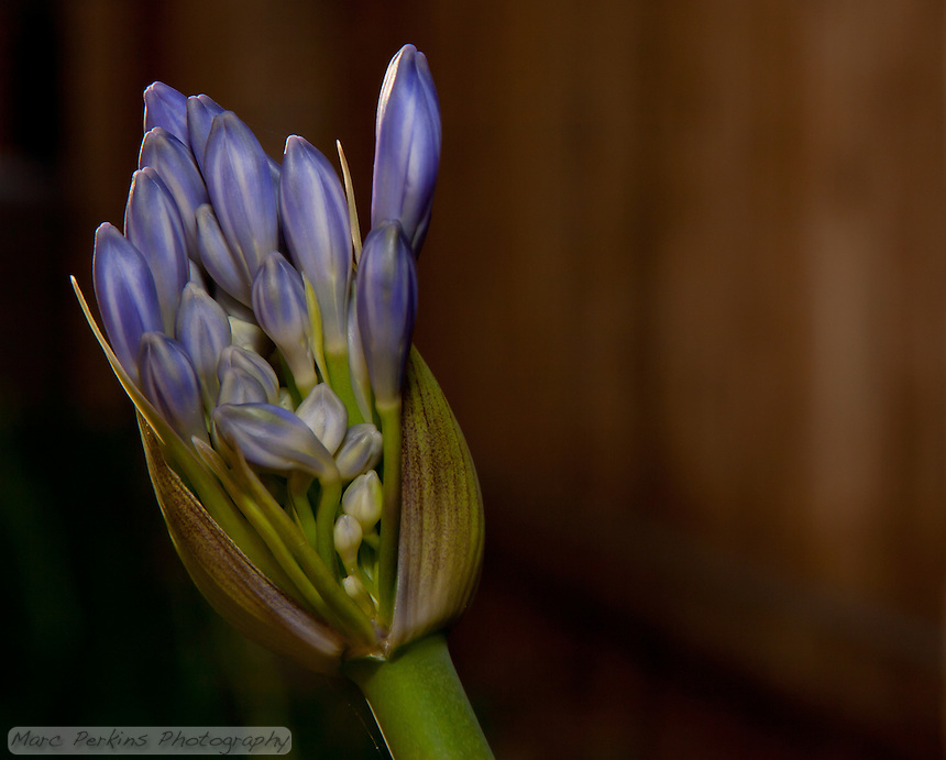 An Agapanthus just begnning to bloom around sunset.  The flowers are backlit with light reflrected from a setting sun.  Agapanthus blooms are inflorescences, clusters of individual flowers that all emerge from a common stalk.  More specifically they're umbels, since all the flowers attach at a common point.