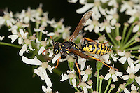 Gallische Feldwespe, Männchen, Französische Feldwespe, Blütenbesuch, Polistes dominulus, Polistes dominula, Polistes gallicus, Papierwespe, Vespinae, Faltenwespe, Vespidae, paper wasp