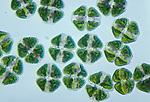 Cosmarium Desmids, Green Algae. LM
