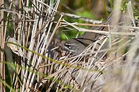 White-browed Scrubwren (Sericornis frontalis ashbyi), male on Kangaroo Island in South Australia, Australia.
