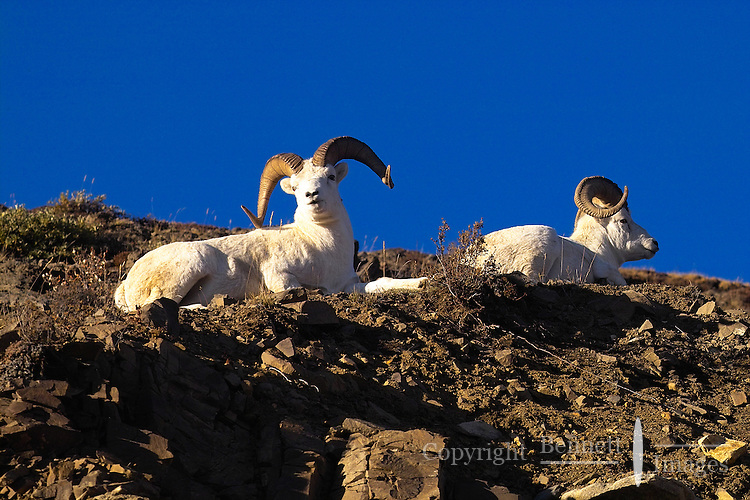 Two Dall sheep rams keep an eye on passersby as they enjoy a sunny afternoon at Denali National Park,