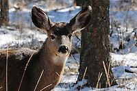 Young mule deer standing in snow.