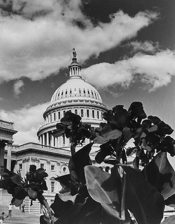 President Red Canna flowers outside the Capitol Hill. (Photo by Andrea Mohin/CQ Roll Call via Getty Images)