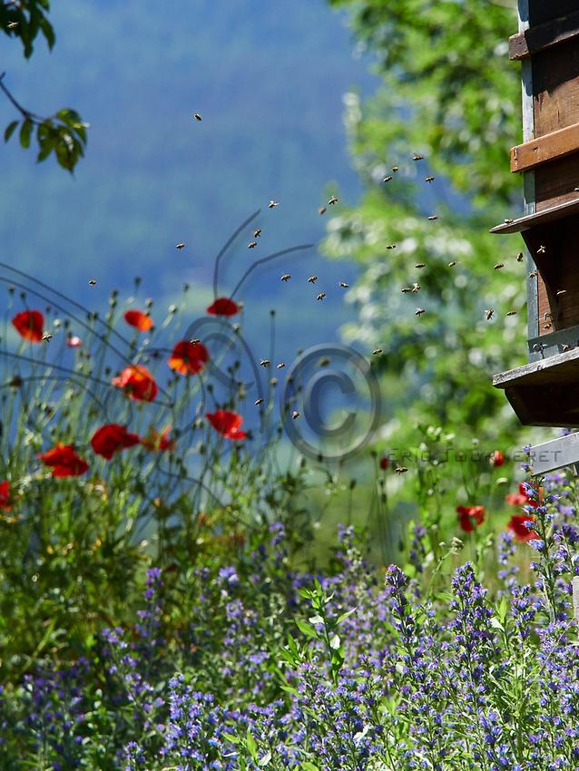 The coming and going of bees in summer amidst the poppies and the phacella.<br /> Va et viens des abeilles en &eacute;t&eacute; avec des fleurs de coquelicots et de phac&eacute;lie.