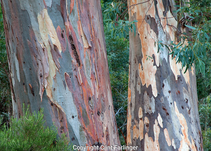 eucalyptus (gum) trunks, Flinder Ranges National Park, South Australia, Australia