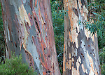 eucalyptus (gum) trunks, Flinder Ranges National Park, South Australia, Australia