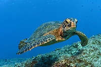 green sea turtle, Chelonia mydas, Honu, Midway atoll, Papahanaumokuakea Marine National Monument, Northwestern Hawaiian Islands, Hawaii, USA, Pacific Ocean