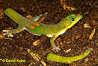 1001-0801  Gold Dust Day Gecko with Recently Broken Tail that Can Regenerate, Phelsuma laticauda © David Kuhn/Dwight Kuhn Photography.