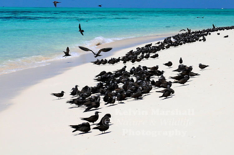 Michaelmas Cay on the Great Barrier Reef  is a rookery for Common Noddies (Anous stolidus)