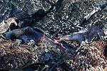 Giant Petrels Eating Fur Seal Eating Fur Seal