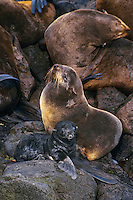 Northern fur seal mother with young, Alaska
