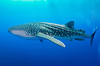 whale shark, Rhincodon typus, Gladden Spit and Silk Cayes Marine Reserve (GSSCMR), Placencia, Belize, Caribbean Sea, Atlantic Ocean