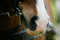 Horse muzzle and bit close up, England
