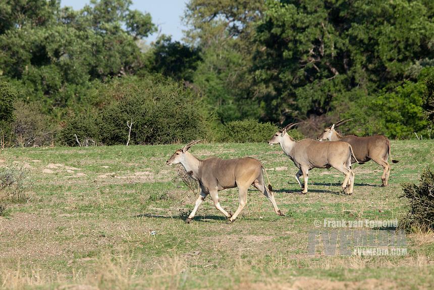 Eland herd (Taurotragus oryx)...Running...Mashatu Game Reserve..Tuli block, Botswana..November 2010.
