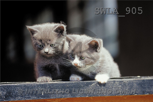 Carl, ANIMALS, photos(SWLA905,#A#) Katzen, gatos