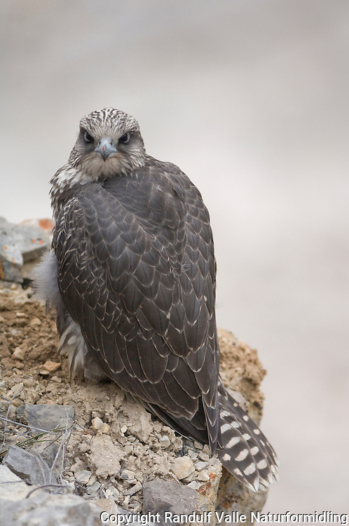 Ung jaktfalk ---- Young gyrofalcon