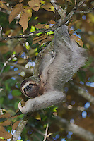 Brown-throated Three-toed Sloth, Bradypus variegatus , male, Manuel Antonio National Park, Central Pacific Coast, Costa Rica, Central America