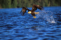BE4558  Bald Eagle catching a fish.  Pacific Northwest.