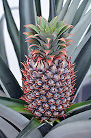 Pictured: The pineapple that Nick Kift has grown in Pembrokeshire, Wales, UK<br />