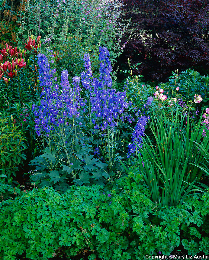 Vashon Island, WA: Summer garden with a border of cranesbill geranium, blue flowering delphinium, pink flowering campanula and red lilies in bud