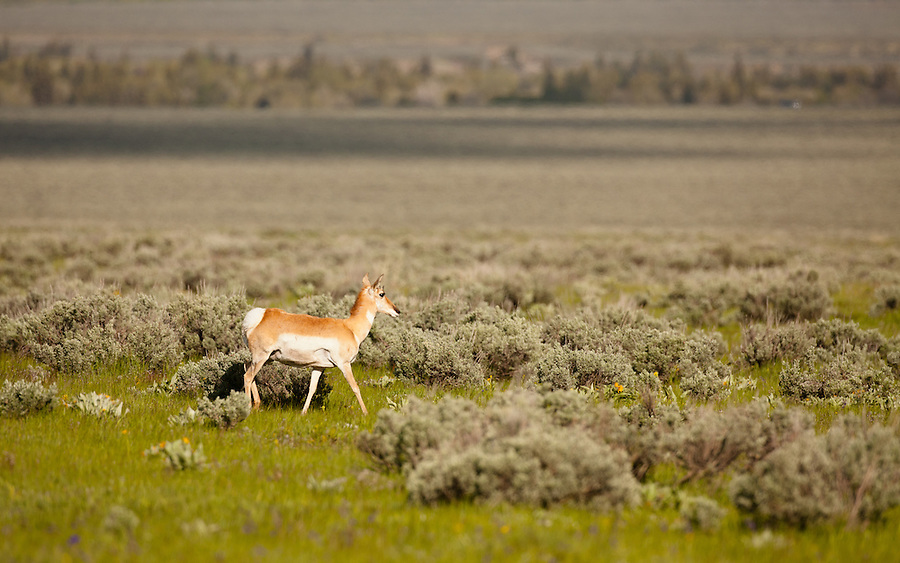 A single pronghorn antelope walks in a grassy field.