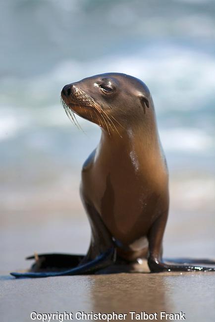 USA, California, San Diego, Baby Sea Lion in La Jolla.